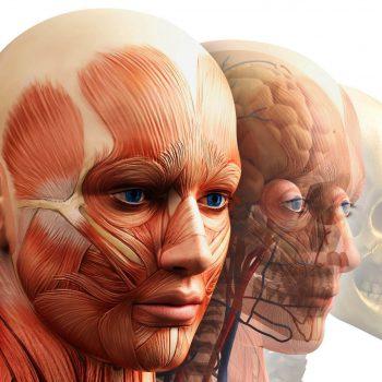 Курсы 3D анатомии лица, шеи и головы в школе мастеров массажа