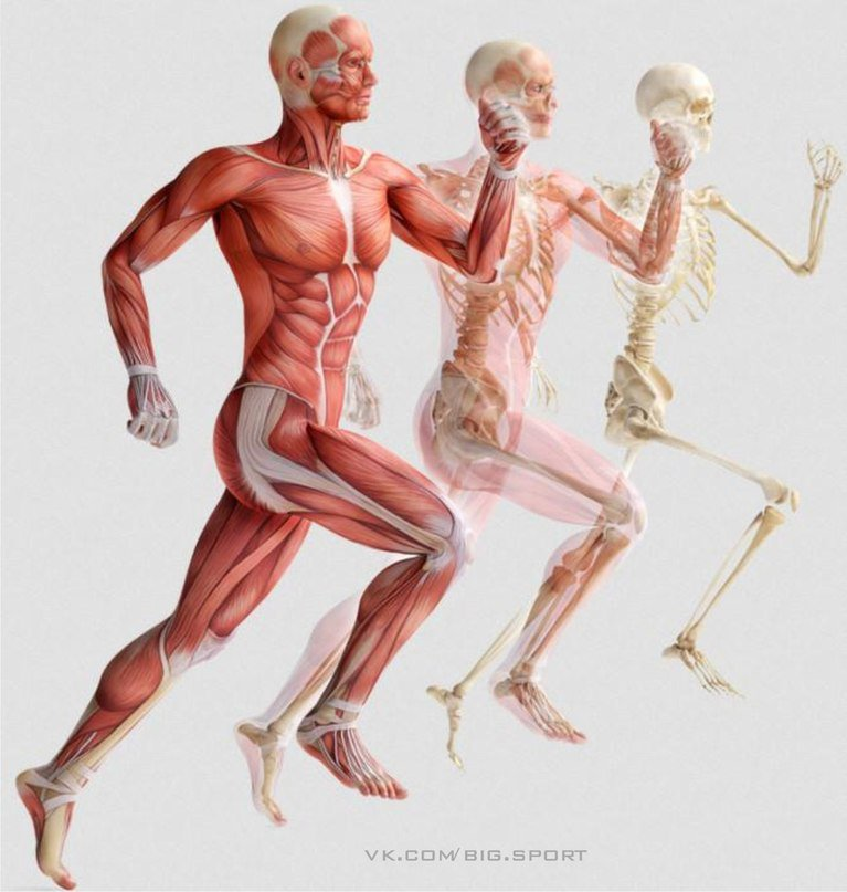 Анатомия физических упражнений картинки